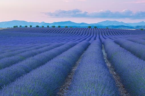 Provence-Alpes-Cote d'Azur「Lavender fields at twilight in Valensole, France」:スマホ壁紙(19)