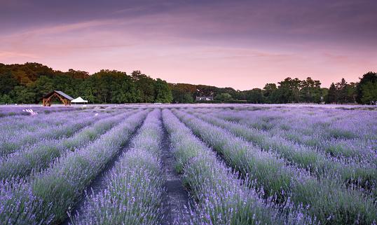 July「Lavender field」:スマホ壁紙(15)