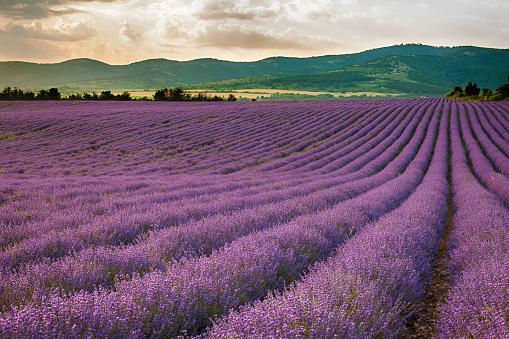 花畑「Lavender field, Bulgaria」:スマホ壁紙(14)