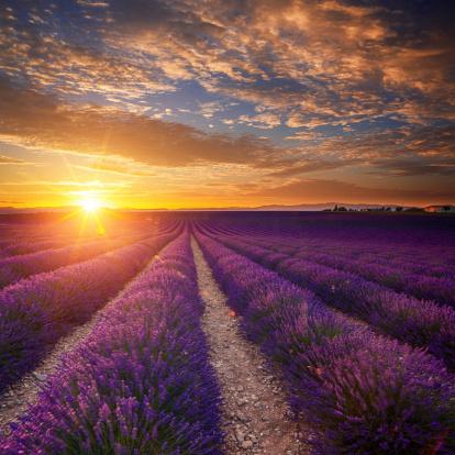 Lavender Color「Lavender field at sunset」:スマホ壁紙(18)