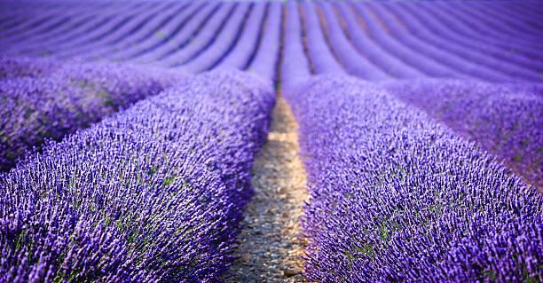 lavender field at sunset (focus on foreground):スマホ壁紙(壁紙.com)