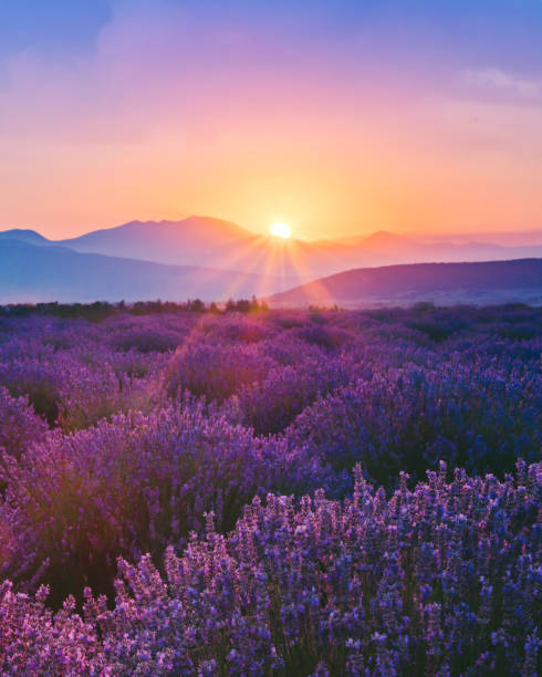 Lavender field at sunset:スマホ壁紙(壁紙.com)