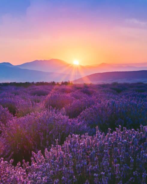 Lavender field at sunset:スマホ壁紙(壁紙.com)