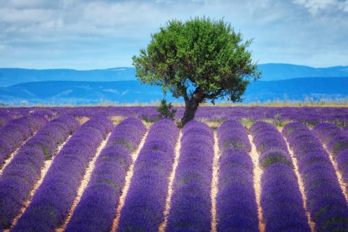 Plateau De Valensole「lavender fields in Provence」:スマホ壁紙(12)
