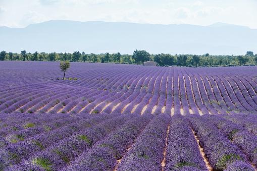 French Lavender「Lavender fields in Provence, France」:スマホ壁紙(16)