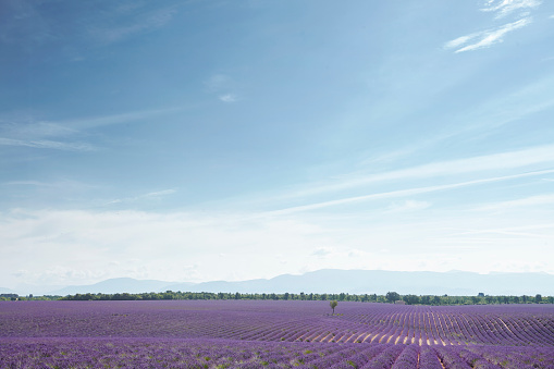 French Lavender「Lavender fields in Provence, France」:スマホ壁紙(10)