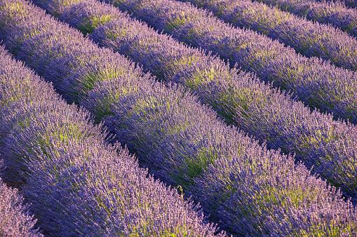 French Lavender「Lavender fields in Provence, France」:スマホ壁紙(3)