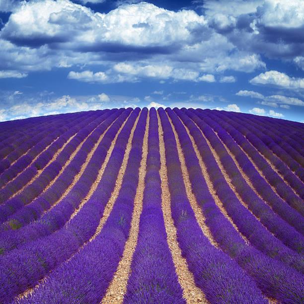 lavender fields in Provence:スマホ壁紙(壁紙.com)