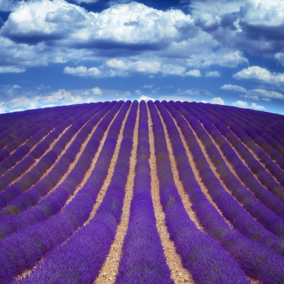 French Lavender「lavender fields in Provence」:スマホ壁紙(1)