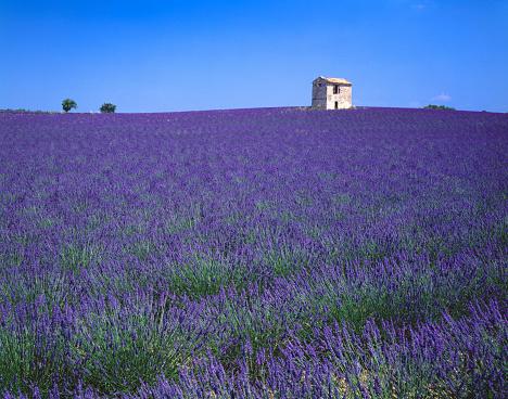 French Lavender「Lavender Field in France」:スマホ壁紙(18)