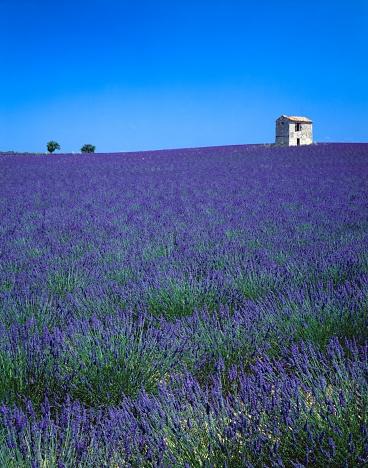 French Lavender「Lavender Field in France」:スマホ壁紙(17)