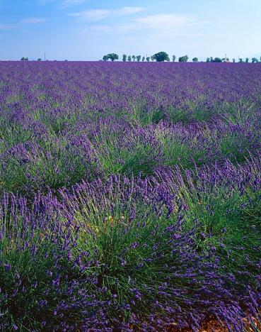 French Lavender「Lavender Field in France」:スマホ壁紙(16)