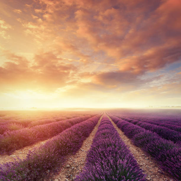 Lavender field at dawn:スマホ壁紙(壁紙.com)