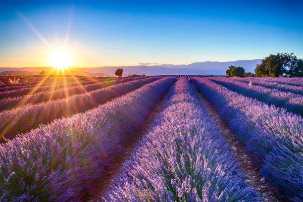 lavender fields:スマホ壁紙(壁紙.com)