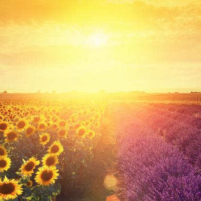 ひまわり「ラベンダー畑と sunflowers の夕暮れ」:スマホ壁紙(4)