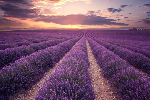 Purple「Lavender field in Provence, France (Plateau de Valensole)」:スマホ壁紙(4)