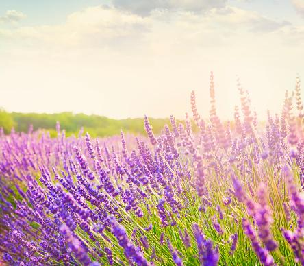 紫「プロヴァンスのラベンダー畑」:スマホ壁紙(8)