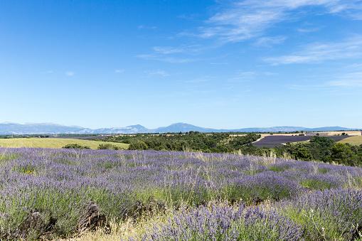 French Lavender「Lavender field in Provence」:スマホ壁紙(4)