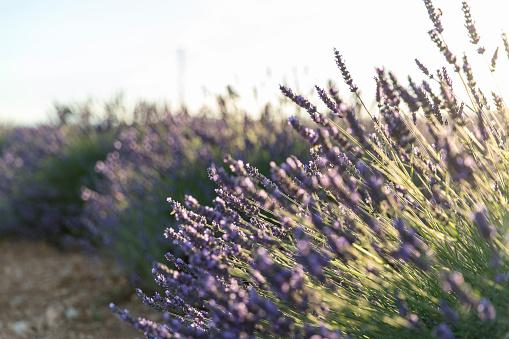 French Lavender「Lavender field in Provence」:スマホ壁紙(9)
