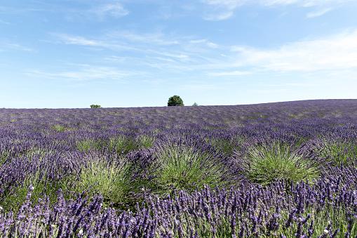 French Lavender「Lavender field in Provence」:スマホ壁紙(12)