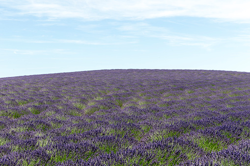 French Lavender「Lavender field in Provence」:スマホ壁紙(1)