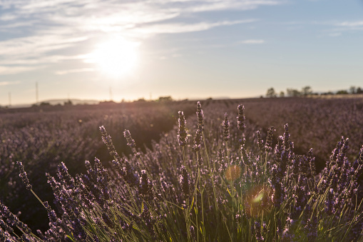 French Lavender「Lavender field in Provence」:スマホ壁紙(13)