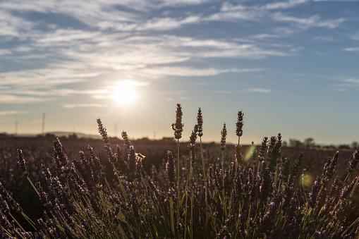 French Lavender「Lavender field in Provence」:スマホ壁紙(10)
