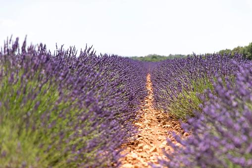 French Lavender「Lavender field in Provence」:スマホ壁紙(14)