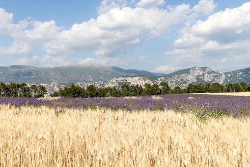 French Lavender「Lavender field in Provence」:スマホ壁紙(15)