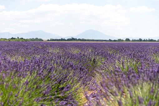 French Lavender「Lavender field in Provence」:スマホ壁紙(16)