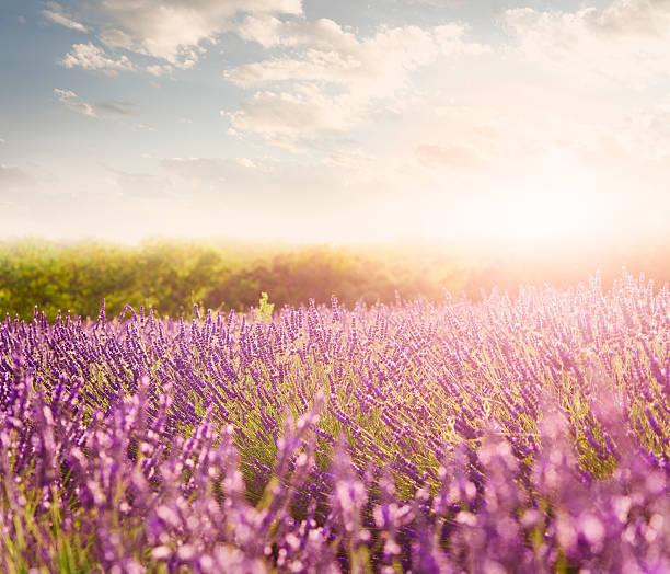 Lavender field in Provence:スマホ壁紙(壁紙.com)
