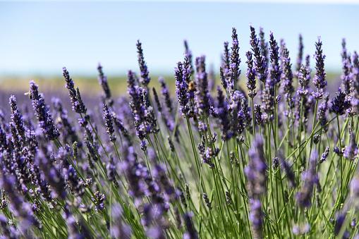 French Lavender「Lavender field in Provence」:スマホ壁紙(3)