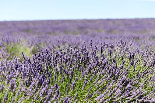 French Lavender「Lavender field in Provence」:スマホ壁紙(5)