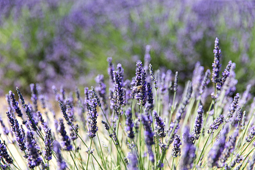 French Lavender「Lavender field in Provence」:スマホ壁紙(0)