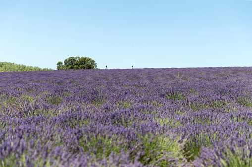 French Lavender「Lavender field in Provence」:スマホ壁紙(8)