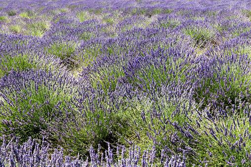 French Lavender「Lavender field in Provence」:スマホ壁紙(2)