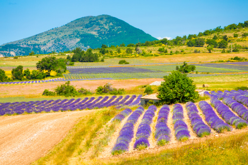 French Lavender「Lavender field in Provence」:スマホ壁紙(14)
