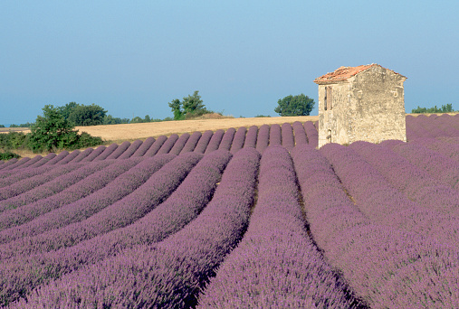 French Lavender「Lavender Field and Old Stone Farmhouse」:スマホ壁紙(18)