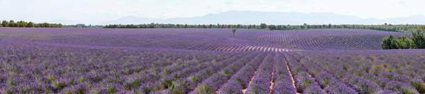 Lavender fields panoramic in Provence, France:スマホ壁紙(壁紙.com)