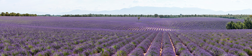 French Lavender「Lavender fields panoramic in Provence, France」:スマホ壁紙(16)