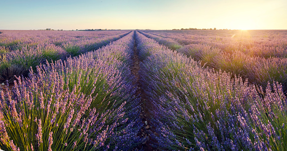 French Lavender「Lavender field at sunrise in Provence, France」:スマホ壁紙(11)
