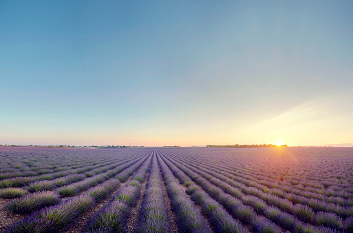 French Lavender「Lavender field at sunrise in Provence, France」:スマホ壁紙(12)