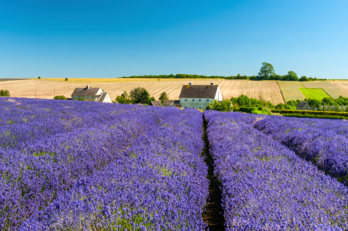 Gloucestershire「Lavender Field Under Clear Blue Sky」:スマホ壁紙(14)