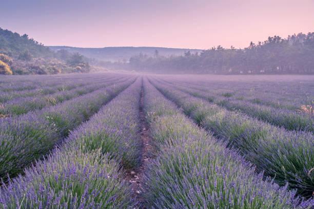 Lavender field:スマホ壁紙(壁紙.com)