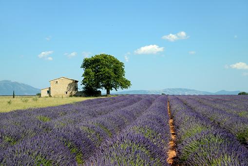 Single Tree「Lavender Field Valensole Provence」:スマホ壁紙(3)