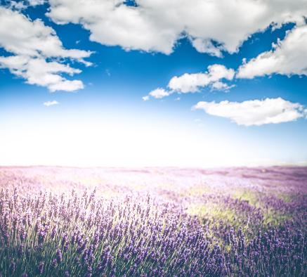 花畑「劇的な空とラベンダー畑」:スマホ壁紙(9)