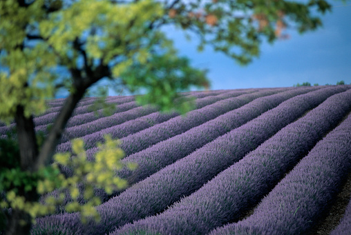 French Lavender「Lavender Fields in France」:スマホ壁紙(9)