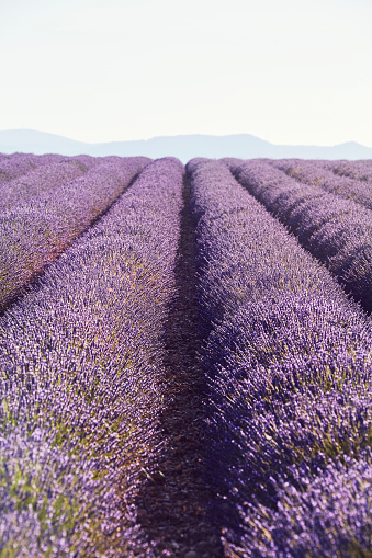 French Lavender「Lavender fields with distant hills in Provence, France」:スマホ壁紙(1)