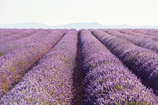 French Lavender「Lavender fields with distant hills in Provence, France」:スマホ壁紙(12)