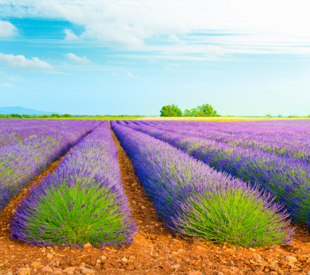 French Lavender「Lavender field」:スマホ壁紙(10)